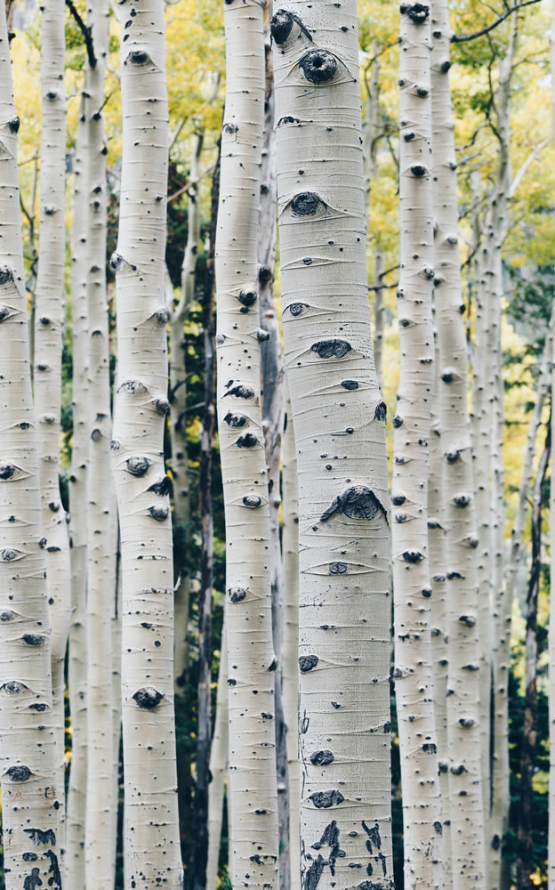 Photo of birch trees in a forest representing naturally sounding translations